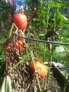 Tomato vines late season