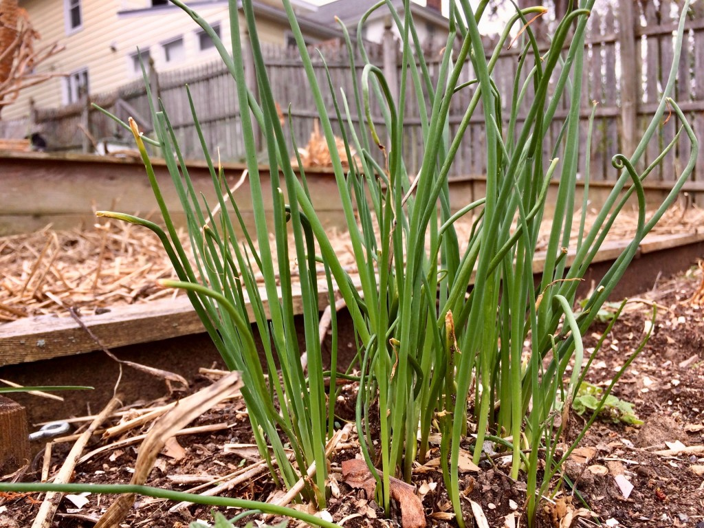 Chives are perennial, and so delicious when finely chopped and sprinkled over hot or cold soups. We bought this as a plant a few years ago, from Mazur Nursery, 265 Bakers Basin Road in Lawrenceville. Click on the photo to visit the website.