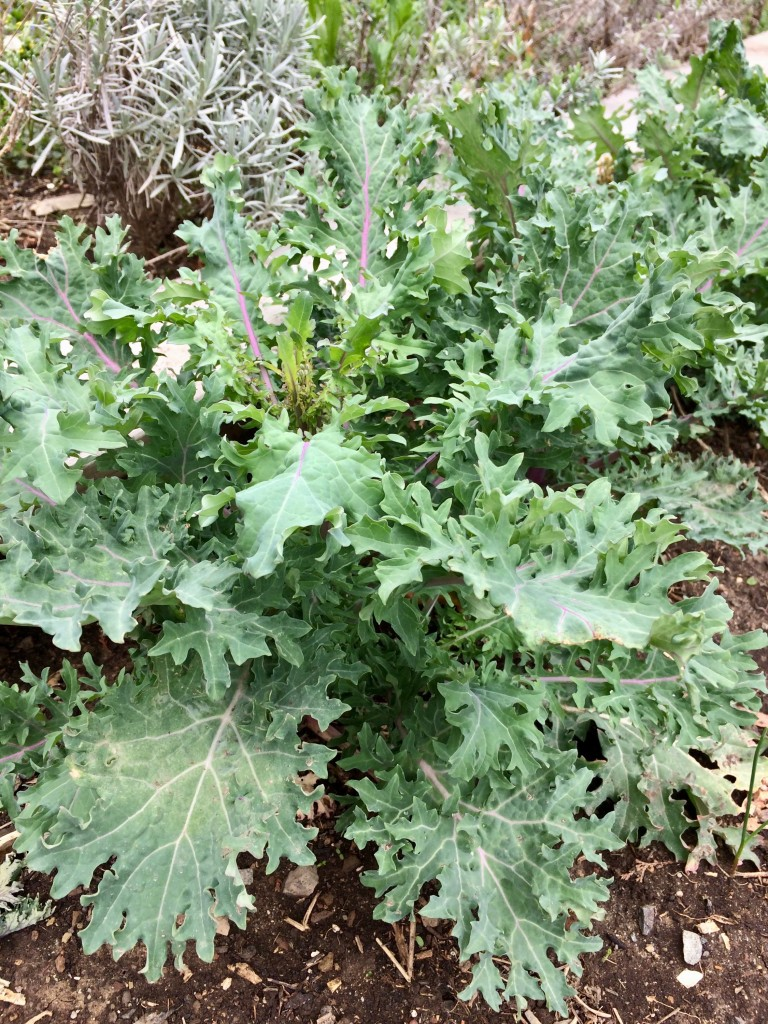 Our Red Russian kale overwintered quite nicely. We like to braise these leaves, cut into ribbons, in olive oil with sauteed garlic. Click on the photo to find seeds for this sweet and succulent dark green.