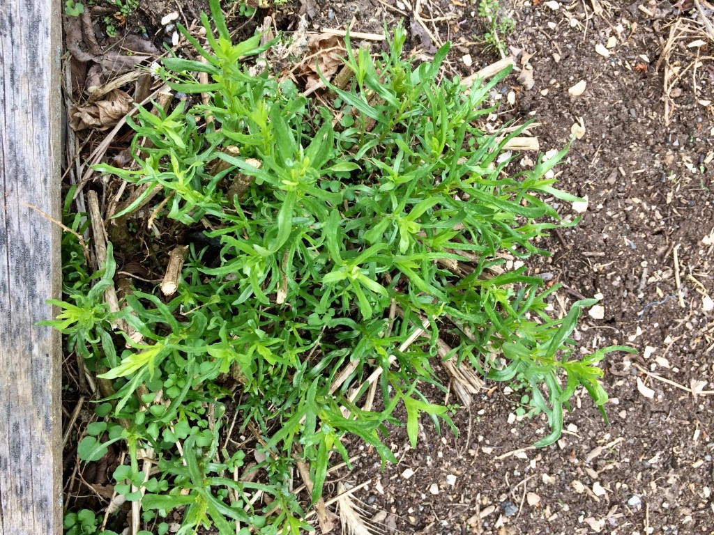 French tarragon is a perennial! With it growing in abundance last summer, one of our favorite uses was as a base for roasting chicken (big chicken, generous kosher salt, plenty of fresh-ground Tellicherry peppercorns and into the roasting pan at 425 degrees for an hour, give or take). We find our tellicherry peppercorns at Savory Spice Shop in Princeton, but they're also available by mail order. Click on the photo to reach the website.